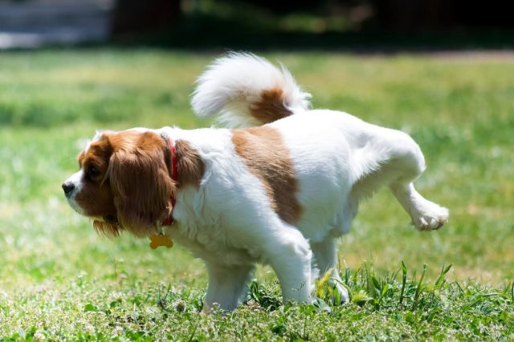 A dog urine smells like ammonia