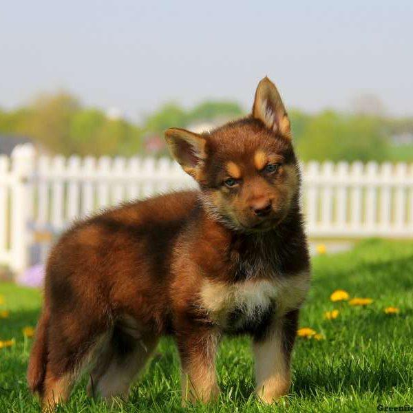 The German Shepherd Akita Corgi Mix looks like a bear cub