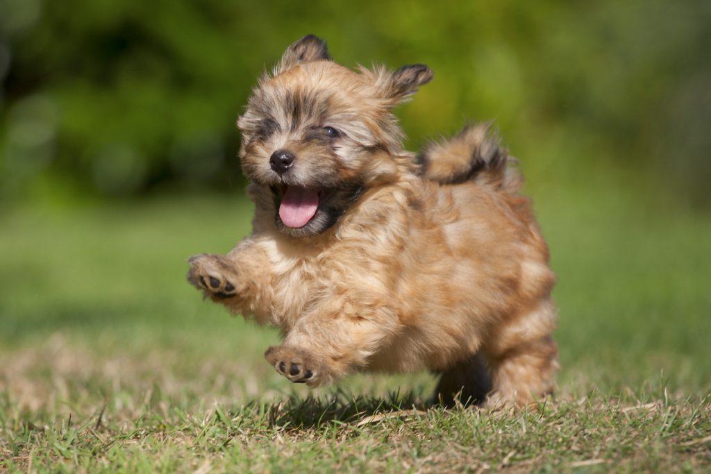 A happy running puppy